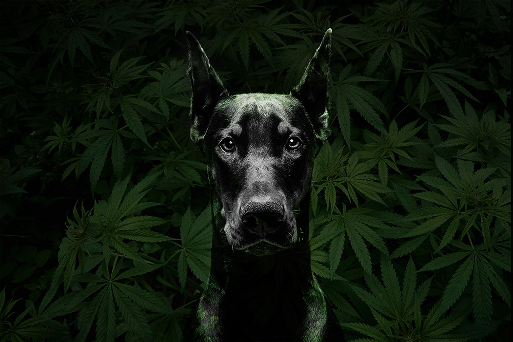 Black D.O.G. strain: unique smell and stature