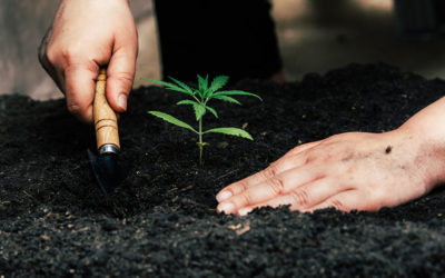 How to grow autoflowering cannabis strains outdoors