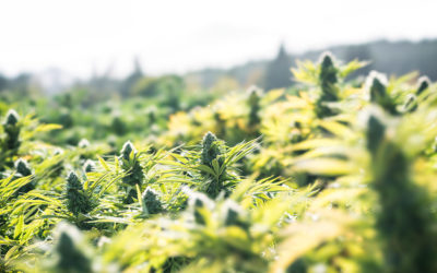 9 tips for growing autoflowering strains outdoors